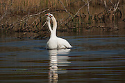 A pair of mute swans demonstrating their mating ritual, this was after the process of mating in the water.