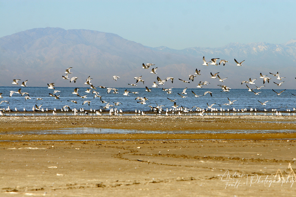Seagulls take to the skies from the shore at a wild life refuge on the east side of the sea.