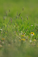 Spotted souslik food. Grassland, Werbkowice-Zamosc, Sunsilks, Poland