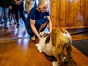 17 APRIL 2019 - DES MOINES, IOWA: US Senator KIRSTEN GILLIBRAND (D-NY) pets GRIFF, the official athletic mascot for Drake University during a meet and greet with Drake students at a restaurant in Des Moines. Gillibrand is touring Iowa this week to support her candidacy to be the Democratic nominee for the US Presidency. Iowa traditionally hosts the the first selection event of the presidential election cycle. The Iowa Caucuses will be on Feb. 3, 2020.             PHOTO BY JACK KURTZ