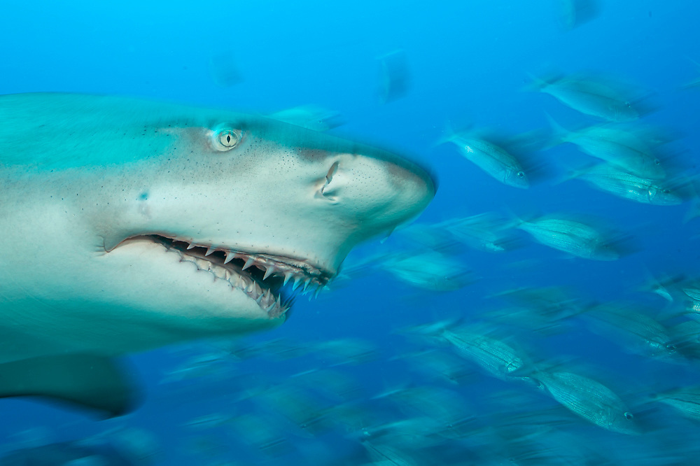A Lemon Shark, Negaprion brevirostris, a protected species in Florida state waters, swims offshore Jupiter, Palm Beach County, Florida, United States, during a shark dive in Federal waters May 20, 2015. This specimen has been disfigured by fishing tackle. Image available as a premium quality aluminum print ready to hang.