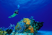 scuba diver observes<br /> coral and sponges on patch reef,<br />  Little Inagua Island, Bahamas,<br /> ( Western Atlantic Ocean )  MR 161