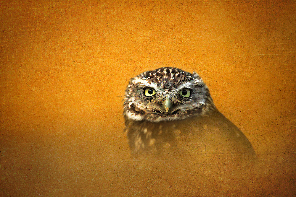 This beautiful owl is part of a wildlife collection.