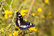 Southern White Admiral butterfly (Limenitis reducta). Photographed in Israel in April