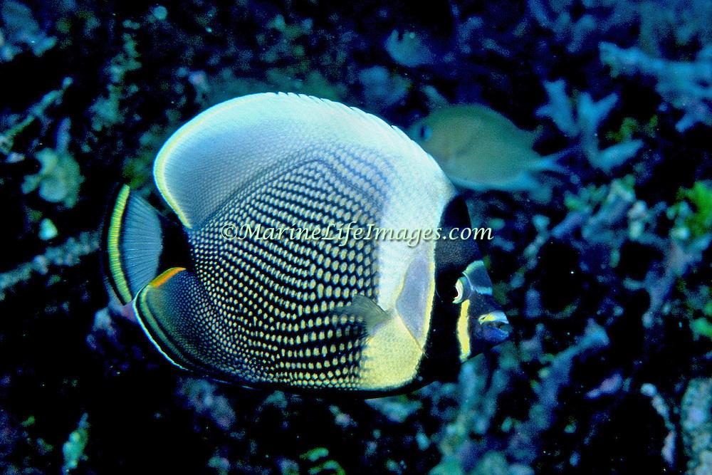 Reticulated Butterflyfish inhabit reefs. Picture taken Fiji.