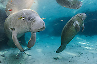 Florida manatee, Trichechus manatus latirostris, a subspecies of the West Indian manatee, endangered. An adult rests and warms in blue freshwater and sunlight while surrounded by fish, bream, Lepomis spp. An active female calf is nearby. The adult manatee is tolerating the fish attention as it is the price to pay for sharing the warm waters. Bream are targeting dermis and dead skin on the manatee. Horizontal orientation with warming sun rays. Three Sisters Springs, Crystal River National Wildlife Refuge, Kings Bay, Crystal River, Citrus County, Florida USA.