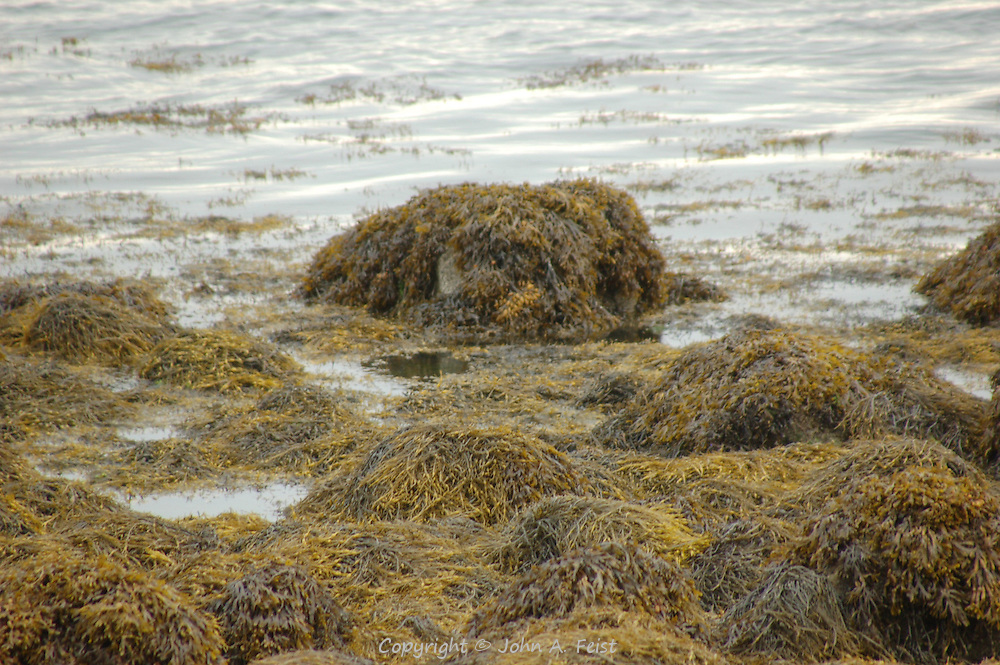 The kelp and seaweed clinging to the rocks on the shoreline in Stone Creek, CT