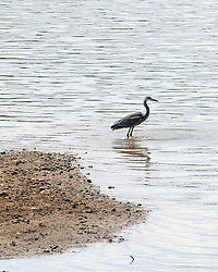 A Heron fishes for food on the banks Bewl Water near Lamberhurst in Kent.