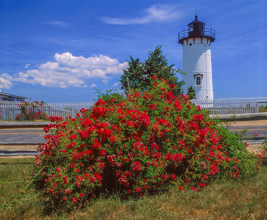 East Chop Lighthouse & Rosa Rugosa roses in bloom, blue sky & clouds, Marthas Vineyard, Edgartown, MA