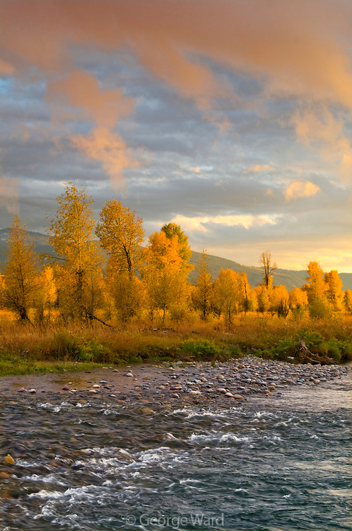 Narrowleaf Cottonwood, the Gros Ventre River and Sunset Light, Grand Teton National Park, Wyoming