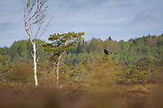 Black grouse (Lyrurus tetrix) sitting atop small scots pine in raised bog, Vidzeme, Latvia Ⓒ Davis Ulands | davisulands.com