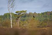 Black grouse (Lyrurus tetrix) sitting atop small scots pine in raised bog, Vidzeme, Latvia Ⓒ Davis Ulands | davisulands.com