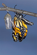 Monarch Butterfly, Danaus plexippus, Hatching from pupae, sequence, crumpled wings