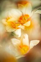 A dreamy tulip trio.