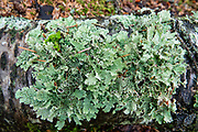 Green lichen. Chilkat State Park, Haines, Alaska, USA. This oceanfront park west of town has beautiful views of Rainbow and Davidson Glaciers.
