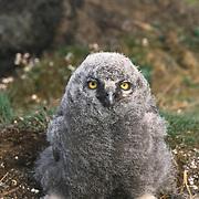 Snowy Owl (Bubo scandiacus) downy chick. Barrow, Alaska