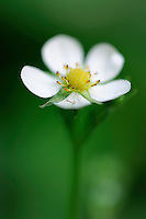 (Fragaria vesca) Woodland Strawberry or European Strawberry, Fraises des Bois, Mullerthal trail, Mullerthal, Luxembourg
