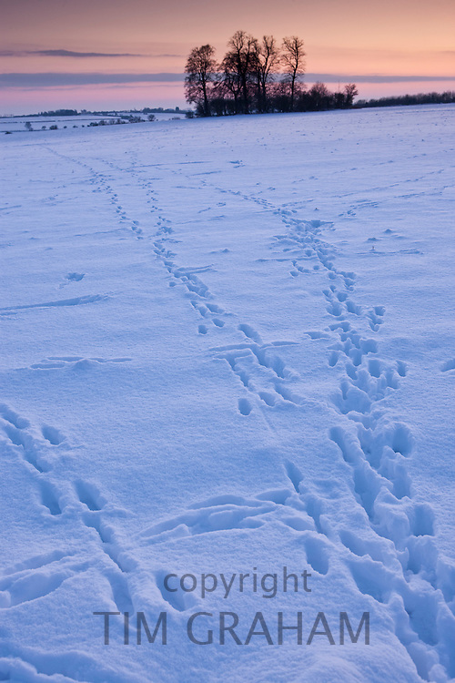 Animal tracks across the field in traditional snow scene in The Cotswolds, Swinbrook, Oxfordshire, United Kingdom