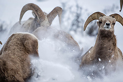 Frisky bighorn sheep at breeding time.  The ewe is breaking to the left  while the three rams race to the finish line.