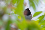 "A dark-eyed junco (Junco hyemalis) rests on the branch of a cherry tree, surrounded by new leaves and blossoms. This dark-eyed junco is of the ""Oregon"" form, a coloration that's common in western North America."