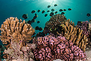 Coral reef in Tetamanu Pass, Fakarava Atoll, French Polynesia, an UNESCO World Heritage Site. Image available as a premium quality aluminum print ready to hang.