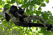 Alamor - Wednesday, Jan 09 2008: A female Black Howler Monkey (Alouatta caraya) lies on a branch near Hacienda Banderones near Alamor, Loja Province, Ecuador.  (Photo by Peter Horrell / http://www.peterhorrell.com)