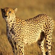 Cheetah, (Acinonyx jubatus) Portrait of adult. Serengeti Plains. Masai Mara Game Reserve. Kenya. Africa.