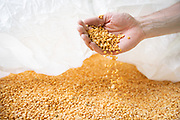 An employee handles a sample of cleaned peas at the Puris pea protein processing facility in Dawson, Minnesota, on Tuesday, June 8, 2021.
