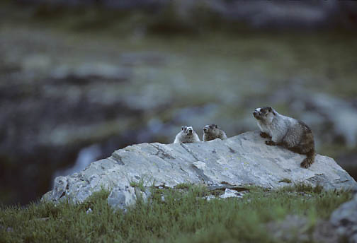 Hoary Marmot (Marmota caligata) family sunning themselves on a rock at Logan's Pass in Glacier National Park.  Montana.