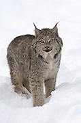 Captive Lynx near Haines, Alaska