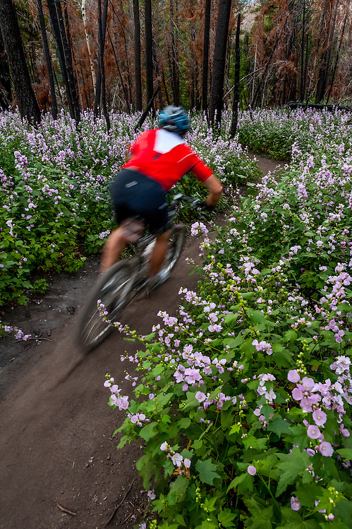 Mountain biker zips through the Streambank Globe Mallow or Wild Hollyhock (Iliamna rivularis) flowers that were trigger by forest fire the year before flowers can remain dormant for 100 years MR. Licensing and Open Edition Prints.
