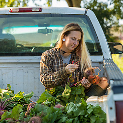 A farm worker sorts beets on a farm on Kinney Hill in South Hampton, New Hampshire.