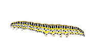 Toadflax Brocade - Calophasia lunula