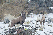 Bighorn ram on a snowy day in the Absaroka Mountains of Wyoming