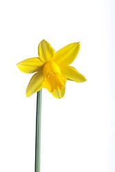 Narcissus 'Tête-à-tête' AGM
