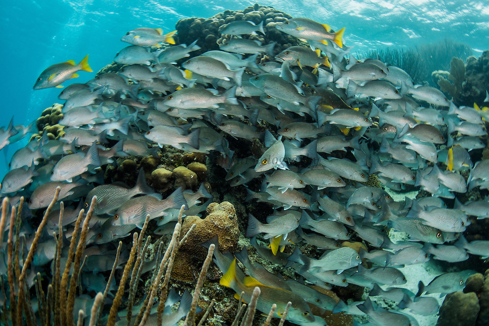 Gray Snapper (Lutjanus griseus) & Schoolmaster (Lutjanus apodus) <br /> Hol Chan Marine Reserve<br /> near Ambergris Caye and Caye Caulker<br /> Belize<br /> Central America
