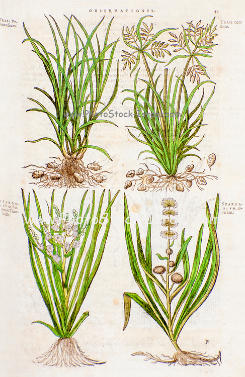 Historical botany study. Illustration of 4 various weeds and edible plants by Mathias Lobel. Printed in 1576