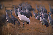 A white Whooping crane (Grus americana) hangs out with Sandhill Cranes at the Bosque del Apache National Wildlife Refuge near Socorro, New Mexico. The Whooping Crane is the rarest species of bird in North America.