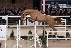 012, Q'Chacco Blue van Essene<br /> Hengstenkeuring BWP - Lier 2019<br /> © Hippo Foto - Dirk Caremans<br /> 18/01/2019
