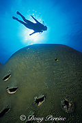 diver and giant brain coral, Colpophyllia natans, <br /> hundreds of years old<br /> Walker's Cay, Bahamas,<br /> ( Western Atlantic Ocean )  MR 89