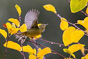A ruby-crowned kinglet (Corthylio calendula) takes off from a branch adorned with golden autumn leaves in Snohomish County, Washington.