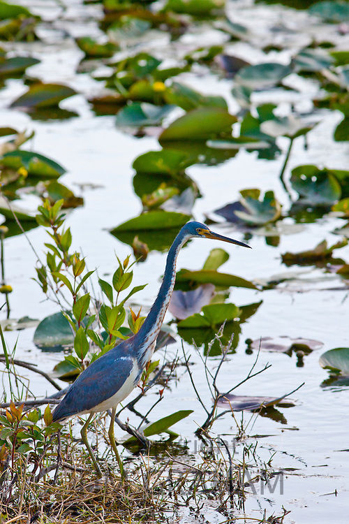 Great Blue Heron, Ardea herodias, among lillies in the Everglades, Florida, USA