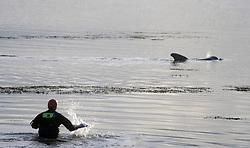 Pilot whale stranded at Culross in Fife<br /> <br /> (c) David Wardle | Edinburgh Elite media