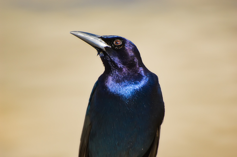 Male boat-tailed grackle showing off its beautiful metallic colors in the morning sunshine in Naples, Fl.