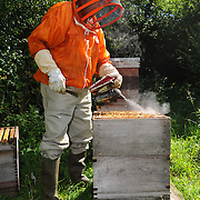 Honeybees. Ian Craig from Brookfield near Johnstone with his colony of bees. The smoke being 'poured' helps to keep the bees calm, so they do not sting.Picture Robert Perry The Scotsman 30th Aug 2012