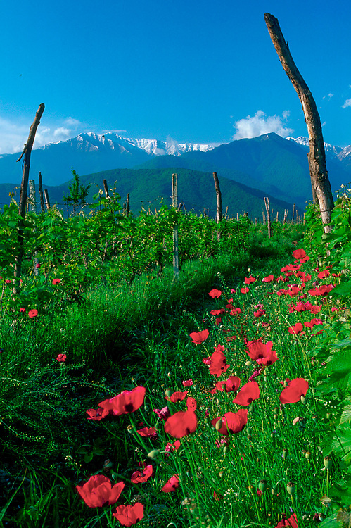 Grape fields and poppies, Lagodekhi National Park in background, The Country of Georgia