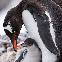 An adult gentoo penguin cares for its chick on a rocky nest in Port Lockroy, Antarctica.