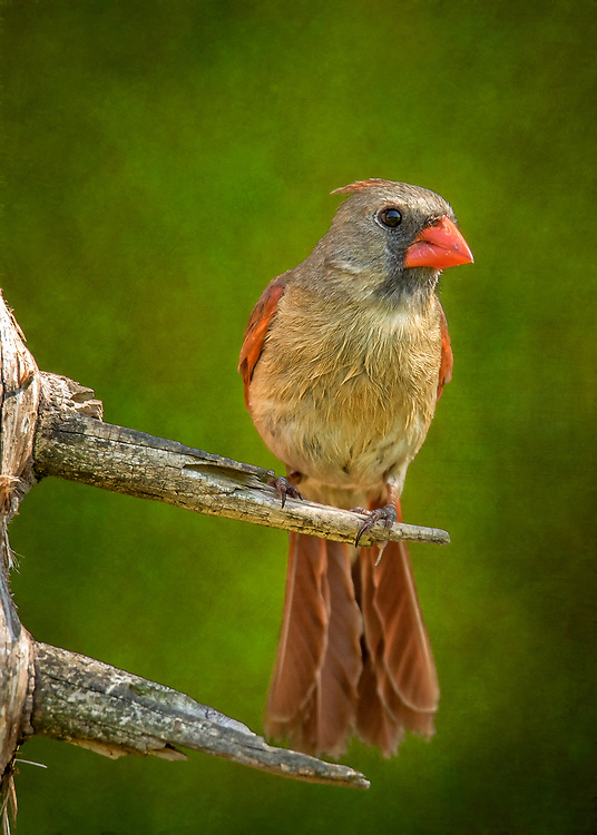 A Female Northern Cardinal Stands Tall On A Bare Tree Perch