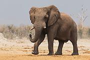 A thirsty elephant (Loxodonta africana) running to a water hole to drink, Savuti, Botswana