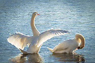 A pair of mute swans preen on the edge of water in the Bell's Neck Cnservation Area.